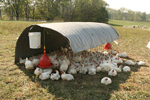 Free range chickens preferring shade (source: Wikimedia Commons)