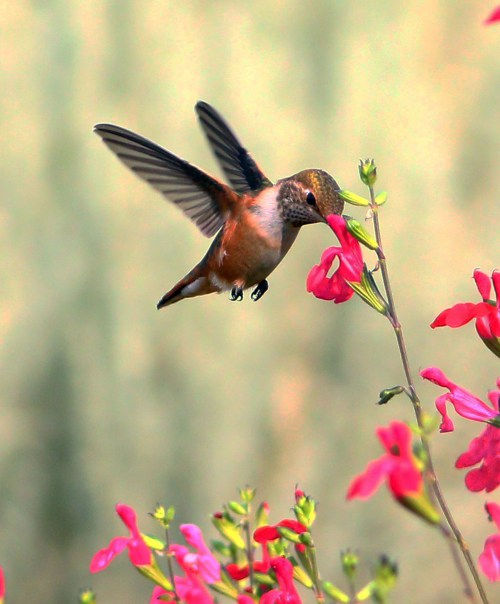 rufous hummingbird 2AUG2015 good_2000px
