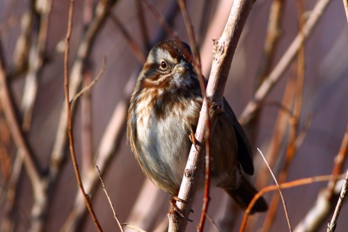 Song Sparrow 21NOV2015 good A5_2000px